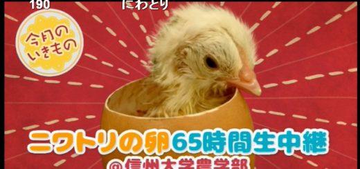 ニワトリの卵65時間生中継